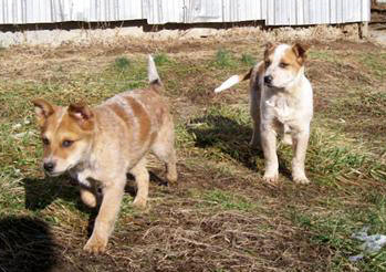 Texas Heeler dogs for sale puppies cowdogs
