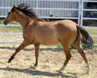 Grulla grullo horse for sale