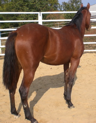 quarter horse mare filly