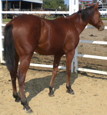 quarter horse cutting horse