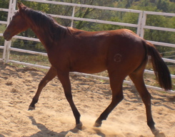 aqha filly quarter horse mare