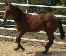 mare quarter horse filly ranch horse