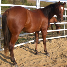 quarter horse peppy san badger