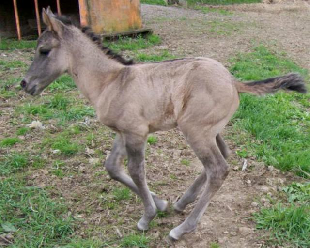 Grulla grullo foal for Sale