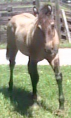 Grulla grullo foal horse for sale