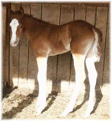 Gunsmoke Pistol Colt 2005 ranch horses