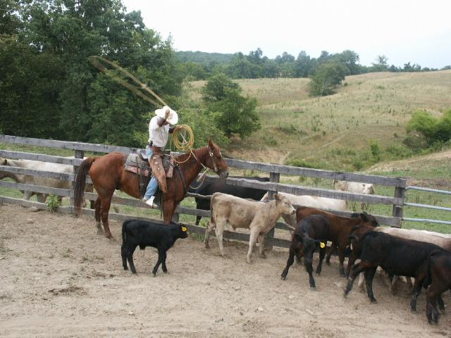 Roping calves 1