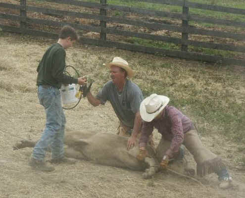Roping calves 3