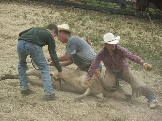 Roping calves 4