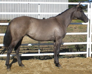 AQHA Silver Grulla Grullo quarter horse mare for sale
