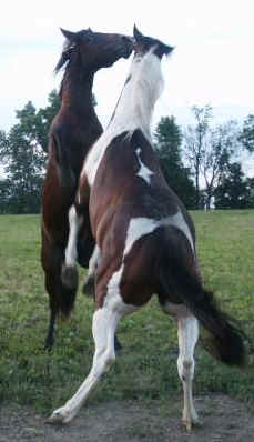 Cutting horse, Cowhorse, Ranch horses for sale